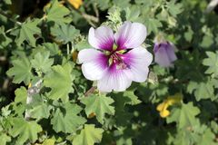 Flower of Tree Mallow, Lavatera maritima. With pale lavender to white petals with purple base and  reddish violet veins, and long staminal column in center Stock Photography