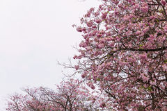 Flower tree in pink blooming, pink trumpet tree. Flower tree in pink color blooming, pink trumpet tree Stock Photos