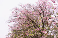 Flower tree in pink color blooming, pink trumpet tree. Flower tree in pink color blooming with white sky, pink trumpet tree Stock Photography