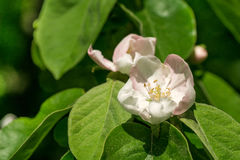A flower of a tree of a quince, Stock Photo