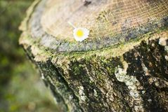 Flower on a tree stump. Spring , forest Stock Image
