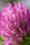 Flower of Trifolium Stock Images