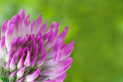 Flower of Trifolium Stock Photo