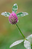 Flower of Trifolium Stock Photos