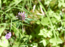 Flower of trifolium Royalty Free Stock Images