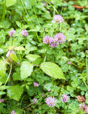 Flower of trifolium Stock Photography