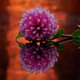 A flower of Trifolium in mirror image
