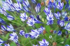 Flower Triteleia Royalty Free Stock Photos