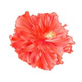 Flower tropical plant pink hibiscus   on a white background  vintage vector illustration editable. Hand draw Royalty Free Stock Image