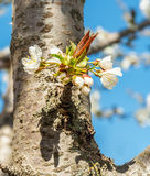 Flower on the trunk of the old cherry Stock Photography