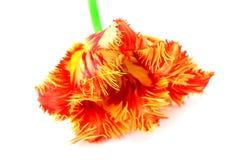 Flower tulip Stock Photo