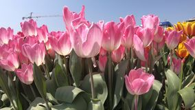 Fresh tulips in warm sunlight stock video