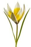 Flower of tulip botanical, lat.Tulipa botanical, isolated on whi. Te background royalty free stock photo