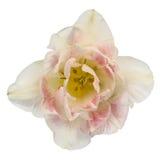 Flower tulip close-up, isolated on white background Stock Image