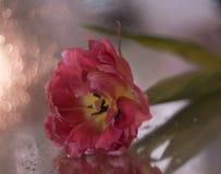 Pink flower tulip closeup bokeh background. Flower tulip closeup bokeh background blossom glitter petal macro texture abstract light blossom spring stock image