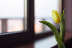 Flower, tulip, cut, green leaves, sort of strong gold. The Netherlands, window, glass, window sills, yellow, beautiful, sunny, cloudy, one, loneliness Stock Image