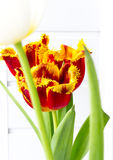The flower tulip. Stock Image