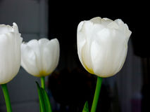 The flower tulip. Royalty Free Stock Images