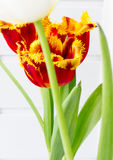 The flower tulip. Royalty Free Stock Image