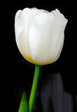 The flower tulip. Royalty Free Stock Photography