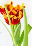 The flower tulip. Stock Photos