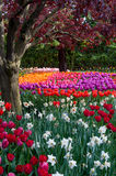 Flower tulip garden, tulip festival Royalty Free Stock Photos