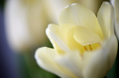 Flower of a tulip of light-yellow color Stock Images