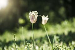 Flower tulip lit by sunlight in park royalty free stock photos