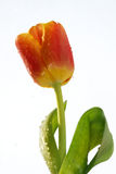 Flower  tulip  petals  stalk Royalty Free Stock Photo
