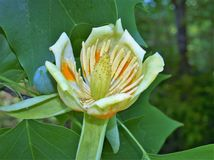 Flower of Tulip Poplar Tree. The tulip poplar also called tulip tree is actually more closely related to magnolia than either a tulip or a poplar Stock Photography
