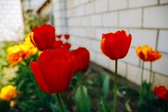 Flower tulip of red color. Red tulips growing in the flower garden outdoors. Bluring royalty free stock images