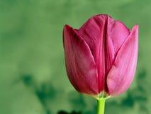 Flower, Tulip, Spring, Bud, Purple Royalty Free Stock Image