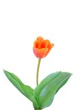 Flower tulip Royalty Free Stock Image