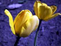 Flower, Tulip, Yellow Stock Photography