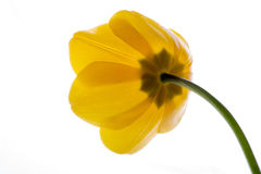 Flower tulip yellow isolated on white background Royalty Free Stock Image