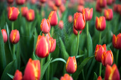 Flower tulips background. Beautiful view of color tulips Stock Photos