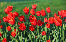 Flower tulips background. Beautiful view of red tulips Royalty Free Stock Images