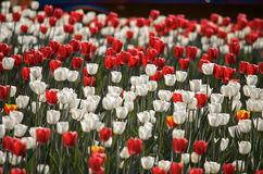 Flower tulips background. Beautiful view of red and white tulips and sunlight. field of tulips Royalty Free Stock Photo