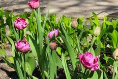 Flower tulips background. Stock Image