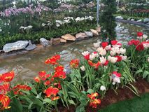 Flower Tulips cheongsam smile. Flower Tulips cute Stock Photography