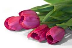 Flower tulips close up Stock Photos