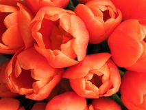 Flower of tulips for decoration greeting cards and beauty of the design concept of agriculture royalty free stock photography