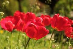 Flower, Tulips, Red, Spring, Sun Stock Image