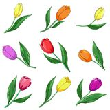 Flower tulips, set. Flowers, multi-coloured tulips, , isolated on a white, set Royalty Free Stock Photography