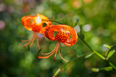 Flower Turk's Cap Lily Royalty Free Stock Photography