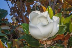 Flower of turkish magnolia Royalty Free Stock Images