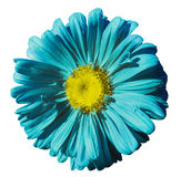 Flower turquoise Chamomile on white isolated background with clipping path. Daisy turquoise-yellow with droplets of water for desi Stock Images