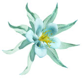 Flower turquoise. Isolated  on a white  background with clipping path. No shadows.. Closeup. A beautiful light  blue primrose blos Stock Photo