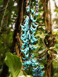 Flower of turquoise jade vine - Strongylodon macrobotrys Stock Images