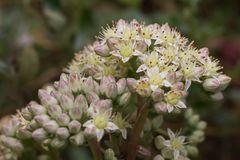 The flower umbel of an orpine Hylotelephium telephium ssp. telephium royalty free stock images